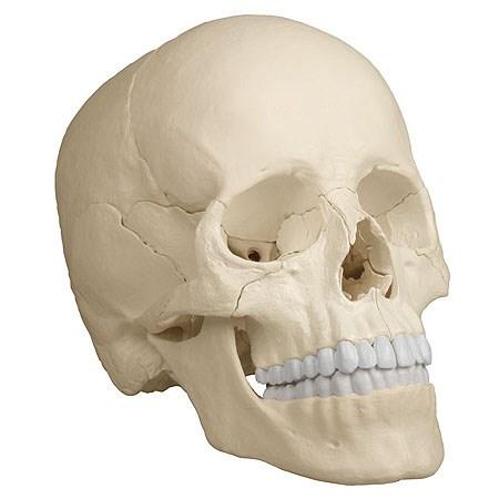 Anatomický model lebky, 22 dílů