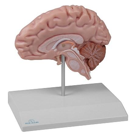 Anatomický model poloviny mozku
