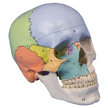 Didaktický model lebky, malovaný, 3 díly