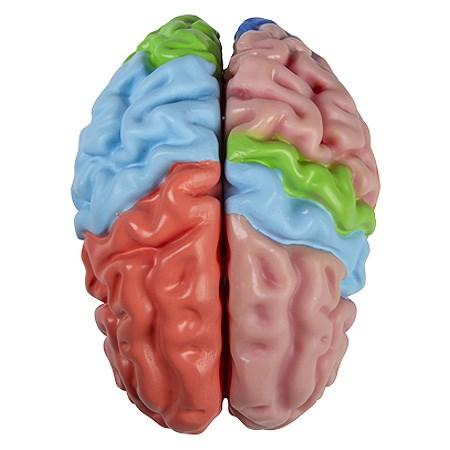 Funkční model mozku