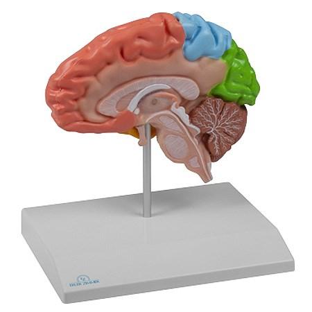 Funkční model poloviny mozku