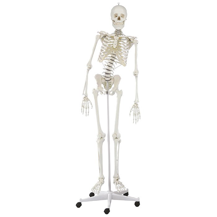 Kostra člověka, model Hugo s pohyblivou páteří