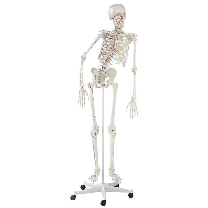 Kostra člověka, model Peter s pohyblivou páteří a vyznačenými svaly