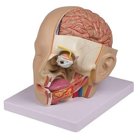 Model hlavy, 4 díly