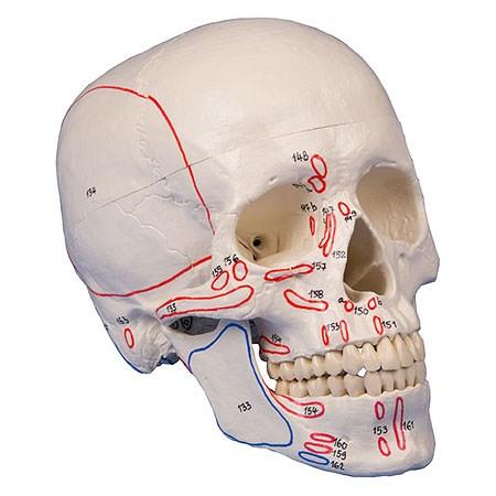 Model lebky s vyznačenými svaly, 3 díly