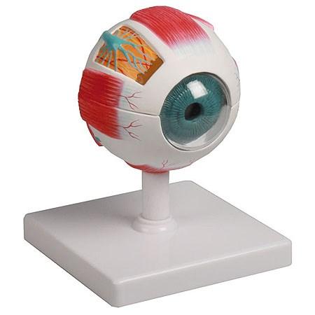 Model oka, 4násobek životní velikosti, 6 dílů