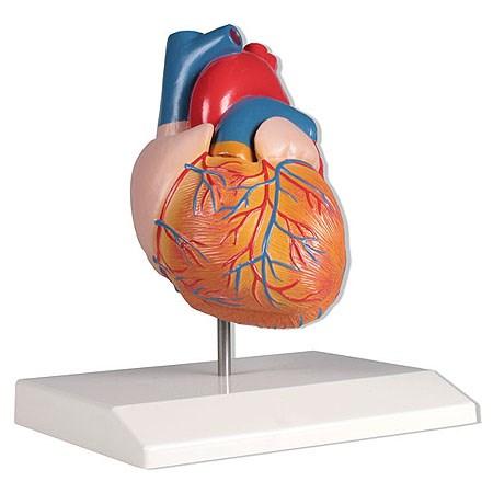 Model srdce, životní velikost, 2 díly