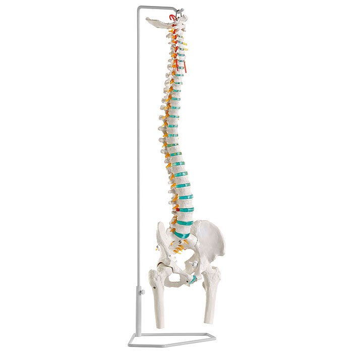 Pohyblivá páteř s hlavicemi femuru