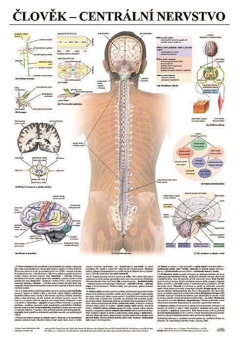 Centrální nervstvo, 67 x 96 cm