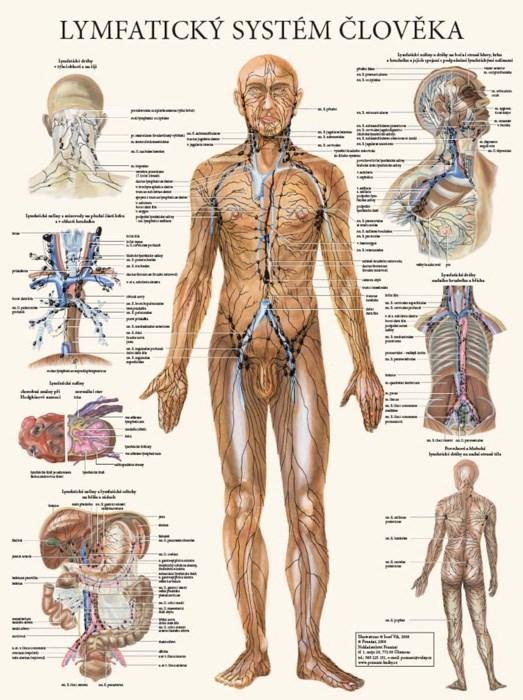 Lymfatický systém člověka, 63 x 47 cm