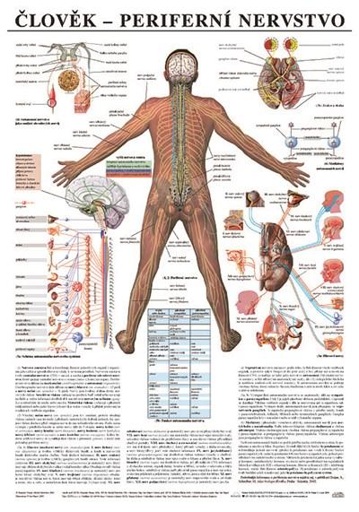 Periferní nervstvo, 67 x 96 cm