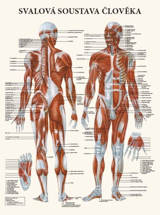 Svalová soustava člověka, 63 x 47 cm